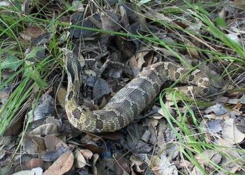 hognose snake after a meal